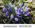 Blue Snowdrops In Morning Gras...