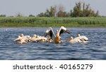 pelicans  pelecanus onocrotalus ... | Shutterstock . vector #40165279
