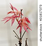 Small photo of Acer Palmatum in close up, vertical image