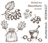 hawthorn   botanical drawing.... | Shutterstock .eps vector #401846227
