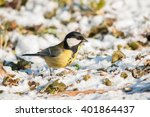 Great Tit In A Spring Snow