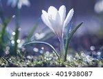 Beautiful White Crocus Flower...