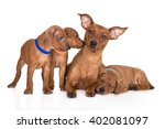 Small photo of pinscher dog with three puppies