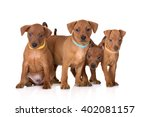 Small photo of group of red pinscher puppies