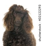 purebred poodle in front of... | Shutterstock . vector #402122293
