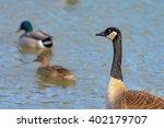 Duck  Duck  Goose Canadian...