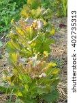Small photo of Fress red oak