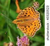 Small photo of Dark Green Fritillary Argynnis aglaja