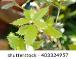 Cork Oak Leaves Young Leaves O...