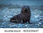 Wet Antarctic Fur Seal On...