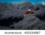 Sally Lightfoot Crab Perched O...