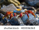 Sally Lightfoot Crab Climbing...