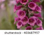 Purple Foxglove Flower...