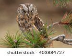 The Eurasian Scops Owl  Otus...