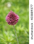 Small photo of Purple ornemental allium sphaerocephalon, allium sphaerocephalum in a garden
