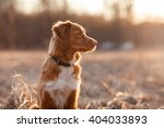 Stock photo dog nova scotia duck tolling retriever walking playing running jumping in the park in spring 404033893