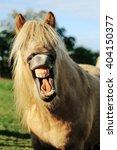 Icelandic Horse Laughs