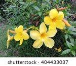 Small photo of Allamanda flower, Allamanda cathartica L., golden trumpet