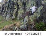 Image Of A Black Sheep Sitting...