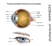 eyes are the organs of vision.... | Shutterstock .eps vector #404948293