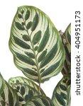 calathea makoyana | Shutterstock . vector #404951173