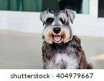 Schnauzer Puppy Dog