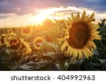 Sunflowers In The Fields Durin...