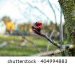 fresh growing burgeon on tree... | Shutterstock . vector #404994883
