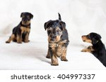 Small photo of Airedale puppies