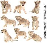 Baby Lion  Panthera Leo ...