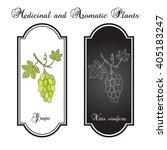 vitis vinifera  common grape... | Shutterstock .eps vector #405183247