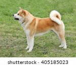 typical  akita dog  in the... | Shutterstock . vector #405185023