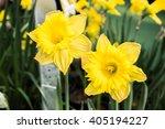 Yellow Daffodils  Daffodil Or...