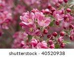 crab apple bloom | Shutterstock . vector #40520938