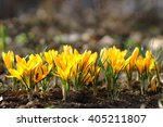 Yellow Crocuses In The Early...
