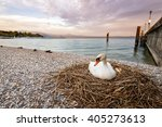 Swan In The Nest Hatching The...