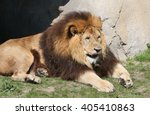 Male South African Lion ...