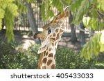 Giraffe Eating Leaves From A...