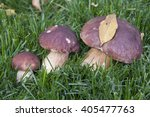 Small photo of Family porcini large small and medium on the green grass with leaf