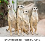 family of meerkats | Shutterstock . vector #405507343