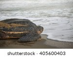 Small photo of Leatherback Turtle on its way out to sea after laying her eggs.