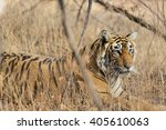 wild bengal tiger  panthera... | Shutterstock . vector #405610063