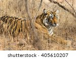 wild bengal tiger  panthera... | Shutterstock . vector #405610207