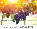 red grapes on the vine. vine...   Shutterstock . vector #405643027
