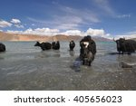 mountain yaks drinking from... | Shutterstock . vector #405656023