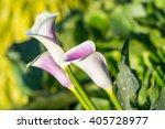 Calla Lily Flower Zatendechsia...