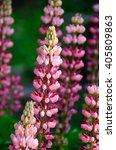 blooming lupine flowers  ... | Shutterstock . vector #405809863