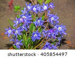 beautiful flower brodiaea...