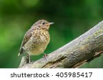 young robin on branch | Shutterstock . vector #405985417