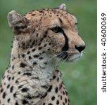 Close Up Of A Beautiful Cheeta...